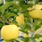 長野県産りんご シナノゴールド 贈答用 5kg