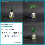 Yahoo!セラハイト【サマーセール対象商品】 ナギ パキラ コーヒーの木 3個セット