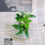 Yahoo!セラハイト「梛(ナギ)の木」「ドラセナ・サンデリアーナ」「ヤマタチバナ」とオシャレな「フローティングベース」 スタンド式