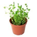 (水草)クレナタ ウォータークローバー(インボイス)(水上葉)鉢植え(無農薬)(1鉢)