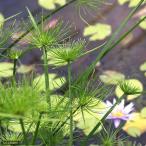 (ビオトープ/水辺植物)ミニパピルス(1ポット分)