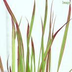 (ビオトープ)水辺植物 ベニチガヤ(1ポット) 湿生植物