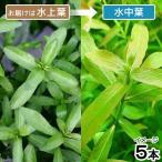 (水草)ハイグロフィラ ポリスペルマ(水上葉)(無農薬)(5本)