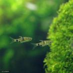 (熱帯魚)プンティウス・ゲリウス(4匹) 北海道・九州・沖縄航空便要保温