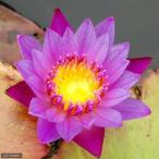 (ビオトープ/睡蓮)熱帯性睡蓮(スイレン)(紫)パナマパシフィック(1ポット)(休眠株)