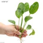 (水草)エキノドルス オゼロットグリーン(無農薬)(1株) 北海道航空便要保温