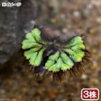 (浮草)イチョウウキゴケ(無農薬)(3株)
