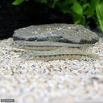(淡水魚)シマドジョウ 6〜10cm(1匹) どじょう