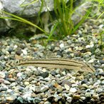 (淡水魚)スジシマドジョウ M〜Lサイズ(1匹) どじょう