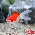 (国産金魚)変わり金魚 玉錦風(5匹)