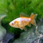 (国産金魚)地金 素赤〜更紗(1匹)