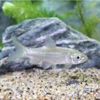 (淡水魚)アオウオ 30〜32cm(1匹)
