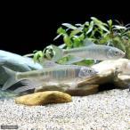 (淡水魚)オイカワ Lサイズ(3匹)