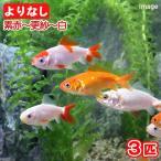 (国産金魚)よりなし和金 素赤〜更紗〜白 平賀養魚場産(3匹)
