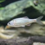 (淡水魚)キタノアカヒレタビラ(3匹)