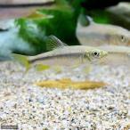 (淡水魚)カワムツ Sサイズ(3匹)