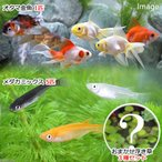 (めだか 水草)水辺のなかよしセット メダカミックスとおたま金魚(浮き草付き)