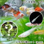 (めだか 水草)水辺のなかよしセット メダカ5種とおたま金魚(浮き草 幹之メダカ付き)
