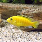 (熱帯魚)ラビドクロミス・カエルレウス Mサイズ(1匹) 北海道・九州・沖縄航空便要保温