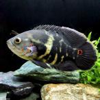 (熱帯魚)アストロノータス オルビクラータス ウアツマ 19〜22cm(ワイルド)(1匹) 北海道・九州・沖縄航空便要保温