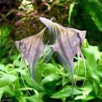 (熱帯魚)レッドバック・エンゼルフィッシュ(ウィルヘルムブリード)(1匹)  北海道・九州・沖縄航空便要保温