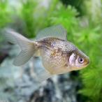 (国産金魚)青パールスケール(1匹)