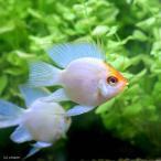 (熱帯魚)ゴールデンバルーンブルーダイヤモンド・ラミレジィ(3匹) 北海道・九州航空便要保温