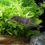 (熱帯魚)カンピロモルミルス・ヌメニウス(1匹) 北海道・九州・沖縄航空便要保温