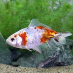 (国産金魚)一点物 メタリックキャリコ和金(1匹)