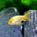 (国産金魚)よりなし(無選別)麁玉の華(1匹)