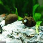 (エビ・貝)サザエ石巻貝(12匹