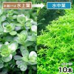 (水草)グリーンロタラ(水上葉)(無農薬)(10本)