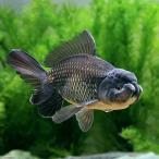 (国産金魚)ブラックドラゴン 中サイズ(1匹)