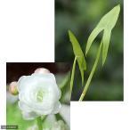 (ビオトープ/水辺植物)ヤエオモダカ(1ポット分)