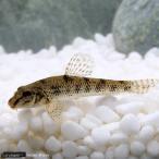 (淡水魚)ツチフキ(3匹)