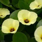 (ビオトープ/水辺植物)ウォーターポピー(ミズヒナゲシ)(1ポット)