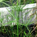 (ビオトープ)水辺植物 ミニシペルス(1ポット分)