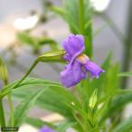 (ビオトープ)水辺植物 ミムルス リンゲンス(1ポット) 湿性植物