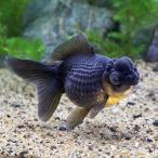 (国産金魚)一点物 黒竜 (1匹)