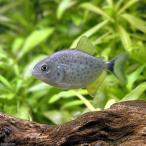 (熱帯魚)ピラニア・ピラヤ ベビー(ワイルド)(1匹) 北海道・九州・沖縄航空便要保温