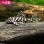 (熱帯魚)一点物 スーパーインペリアルゼブラプレコ L−173b No.38(ブリード)(1匹) 北海道・九州・沖縄航空便要保温 沖縄別途送料