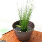 (ビオトープ)水辺植物 ミズトクサ(1ポット分) 抽水植物 (休眠株)