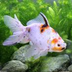 (国産金魚)一点物 ジャンボ東錦 木村養魚場産(1匹)