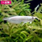 (熱帯魚)一点物 シルバーアロワナ ショートボディ 8〜9cm(1匹) 北海道・九州航空便要保温 沖縄別途送料