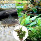 (熱帯魚 水草)ビギナースタートセット カージナルテトラ(ブリード)(10匹)+コリドラス・ステルバイ(1匹)