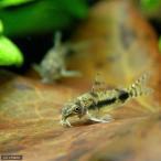 (熱帯魚)コリドラス・ハブロースス(ワイルド)(3匹)