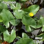 (ビオトープ/水辺植物)ベニコウホネ(1ポット)