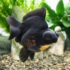 (金魚)黒出目金 ショートテール(中国産)中サイズ(1匹)