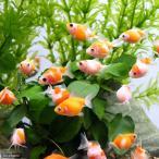 (金魚)まめピンポンパール(1匹) 北海道・九州航空便要保温
