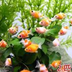 (金魚)まめピンポンパール(外国産)(2匹) 北海道航空便要保温